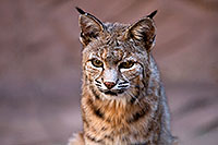 /images/133/2008-08-09-zoo-bobcat-20911.jpg - #05778: Bobcat at the Phoenix Zoo … August 2008 -- Phoenix Zoo, Phoenix, Arizona