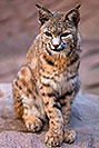 /images/133/2008-08-09-zoo-bobcat-20965v.jpg - #05783: Bobcat at the Phoenix Zoo … August 2008 -- Phoenix Zoo, Phoenix, Arizona