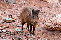 /images/133/2008-08-09-zoo-javalina-20829.jpg - #05783: Javalina at the Phoenix Zoo … August 2008 -- Phoenix Zoo, Phoenix, Arizona