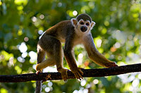 /images/133/2008-08-09-zoo-sq-monkey-21064.jpg - #05793: Squirrel Monkey at the Phoenix Zoo … August 2008 -- Phoenix Zoo, Phoenix, Arizona