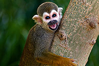 /images/133/2008-08-09-zoo-sq-monkey-21121.jpg - #05797: Squirrel Monkey smiling with open mouth at the Phoenix Zoo … August 2008 -- Phoenix Zoo, Phoenix, Arizona