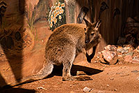 /images/133/2008-08-09-zoo-wallaby-21392.jpg - #05792: Wallaby at the Phoenix Zoo … August 2008 -- Phoenix Zoo, Phoenix, Arizona