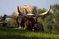 /images/133/2008-08-10-zoo-longhorn-40d_13946.jpg - #05811: Watusi Cattle at Phoenix Zoo … August 2008 -- Phoenix Zoo, Phoenix, Arizona