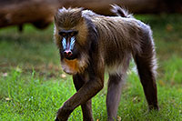 /images/133/2008-08-10-zoo-mandrill-40d_13847.jpg - #05812: Mandrill [female] at the Phoenix Zoo … August 2008 -- Phoenix Zoo, Phoenix, Arizona