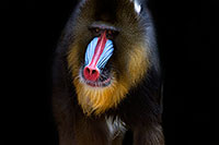/images/133/2008-08-10-zoo-mandrill-40d_13855m.jpg - #05814: Mandrill [male] at the Phoenix Zoo … August 2008 -- Phoenix Zoo, Phoenix, Arizona