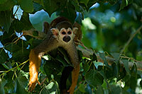 /images/133/2008-08-11-zoo-s-monkey-21720.jpg - #05825: Squirrel Monkey at the Phoenix Zoo … August 2008 -- Phoenix Zoo, Phoenix, Arizona