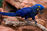 /images/133/2008-08-12-zoo-b-macaw-40d_15441.jpg - #05833: Hyacinth Macaw at the Phoenix Zoo … August 2008 -- Phoenix Zoo, Phoenix, Arizona