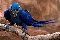 /images/133/2008-08-12-zoo-b-macaw-40d_15445.jpg - #05828: Hyacinth Macaw at the Phoenix Zoo … August 2008 -- Phoenix Zoo, Phoenix, Arizona