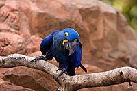 /images/133/2008-08-12-zoo-b-macaw-40d_15447.jpg - #05835: Hyacinth Macaw at the Phoenix Zoo … August 2008 -- Phoenix Zoo, Phoenix, Arizona