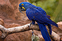 /images/133/2008-08-12-zoo-b-macaw-40d_15465.jpg - #05836: Hyacinth Macaw at the Phoenix Zoo … August 2008 -- Phoenix Zoo, Phoenix, Arizona