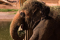 /images/133/2008-08-12-zoo-elephant-40d_15553.jpg - #05840: Elephant at the Phoenix Zoo … August 2008 -- Phoenix Zoo, Phoenix, Arizona