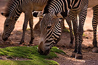 /images/133/2008-08-12-zoo-zebra-40d_15400.jpg - #05839: Zebras at the Phoenix Zoo … August 2008 -- Phoenix Zoo, Phoenix, Arizona