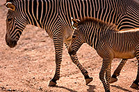 /images/133/2008-08-12-zoo-zebra-40d_15420.jpg - #05840: Zebras at the Phoenix Zoo … August 2008 -- Phoenix Zoo, Phoenix, Arizona