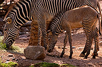 /images/133/2008-08-12-zoo-zebra-40d_15424.jpg - #05847: Zebras at the Phoenix Zoo … August 2008 -- Phoenix Zoo, Phoenix, Arizona