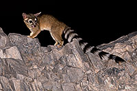 /images/133/2008-09-14-squaw-ringtail-26546.jpg - #05920: Ringtail at Squaw Peak … September 2008 -- Squaw Peak, Phoenix, Arizona