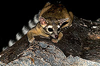/images/133/2008-09-18-squaw-ringtail-28057.jpg - #05940: Ringtail at Squaw Peak … September 2008 -- Squaw Peak, Phoenix, Arizona