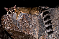 /images/133/2008-09-18-squaw-ringtail-28073.jpg - #05941: Ringtail at Squaw Peak … September 2008 -- Squaw Peak, Phoenix, Arizona