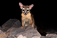 /images/133/2008-09-18-squaw-ringtail-28112.jpg - #05942: Ringtail at Squaw Peak … September 2008 -- Squaw Peak, Phoenix, Arizona