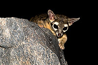 /images/133/2008-09-18-squaw-ringtail-28180.jpg - #05907: Ringtail at Squaw Peak … September 2008 -- Squaw Peak, Phoenix, Arizona