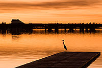 /images/133/2008-10-26-tempe-heron-40357.jpg - #05970: Great Blue Heron at North Bank Boat Ramp at sunset at Tempe Town Lake … October 2008 -- Tempe Town Lake, Tempe, Arizona