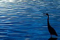 /images/133/2008-11-12-tempe-heron-46101.jpg - #06030: Great Blue Heron at sunset at Tempe Town Lake … November 2008 -- Tempe Town Lake, Tempe, Arizona