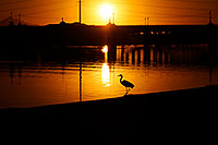 /images/133/2008-11-14-tempe-heron-46914.jpg - #06040: Great Blue Heron at sunset at Tempe Town Lake … November 2008 -- Tempe Town Lake, Tempe, Arizona