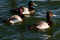 /images/133/2008-11-21-fountain-ducks-50987.jpg - #06137: Lesser Scaups (Diving Ducks) [males] at Fountain Hills lake … November 2008 -- Fountain Hills, Arizona