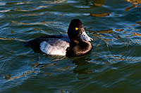 /images/133/2008-11-21-fountain-ducks-51101.jpg - #06189: Lesser Scaup (a Diving Duck) [male] at Fountain Hills lake … November 2008 -- Fountain Hills, Arizona