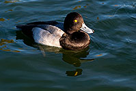 /images/133/2008-11-21-fountain-ducks-51156.jpg - #06191: Lesser Scaup (a Diving Duck) [male] at Fountain Hills lake … November 2008 -- Fountain Hills, Arizona