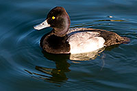 /images/133/2008-11-21-fountain-ducks-51158.jpg - #06193: Lesser Scaup (a Diving Duck) [male] at Fountain Hills lake … November 2008 -- Fountain Hills, Arizona