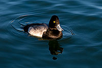 /images/133/2008-11-21-fountain-ducks-51165.jpg - #06194: Lesser Scaup (a Diving Duck) [male] at Fountain Hills lake … November 2008 -- Fountain Hills, Arizona