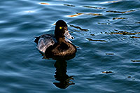 /images/133/2008-11-21-fountain-ducks-51198.jpg - #06196: Lesser Scaup (a Diving Duck) [male] at Fountain Hills lake … November 2008 -- Fountain Hills, Arizona