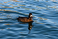 /images/133/2008-11-21-fountain-ducks-51209.jpg - #06197: Lesser Scaup (a Diving Duck) [female] at Fountain Hills lake … November 2008 -- Fountain Hills, Arizona