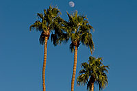 /images/133/2008-12-09-tempe-kiwanis-palms-60907.jpg - #06380: Palm Trees at Kiwanis Park … December 2008 -- Kiwanis Park, Tempe, Arizona