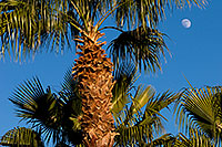 /images/133/2008-12-09-tempe-kiwanis-palms-60913.jpg - #06381: Palm Trees at Kiwanis Park … December 2008 -- Kiwanis Park, Tempe, Arizona