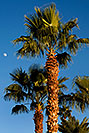 /images/133/2008-12-09-tempe-kiwanis-palms-60930v.jpg - #06439: Palm Trees at Kiwanis Park … December 2008 -- Kiwanis Park, Tempe, Arizona