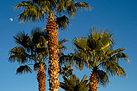 /images/133/2008-12-09-tempe-kiwanis-palms-60934.jpg - #06384: Palm Trees at Kiwanis Park … December 2008 -- Kiwanis Park, Tempe, Arizona