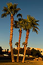 /images/133/2008-12-09-tempe-kiwanis-palms-60984v.jpg - #06444: Palm Trees at Kiwanis Park … December 2008 -- Kiwanis Park, Tempe, Arizona