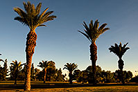 /images/133/2008-12-09-tempe-kiwanis-palms-61044.jpg - #06397: Queen Palm Trees at Kiwanis Park … December 2008 -- Kiwanis Park, Tempe, Arizona