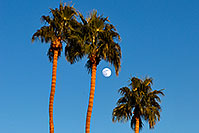 /images/133/2008-12-10-tempe-kiwanis-palms-61378.jpg - #06398: Palm Trees and moon at Kiwanis Park … December 2008 -- Kiwanis Park, Tempe, Arizona