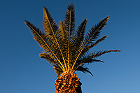 /images/133/2008-12-10-tempe-kiwanis-palms-61422.jpg - #06456: Queen Palm at Kiwanis Park … December 2008 -- Kiwanis Park, Tempe, Arizona