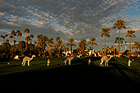 /images/133/2008-12-17-mesa-temple-caravan-64460.jpg - #06487: Camel caravan and Palm Trees by Mesa Arizona Temple … December 2008 -- Mesa Arizona Temple, Mesa, Arizona