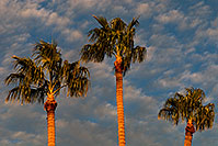 /images/133/2008-12-17-mesa-temple-palms-64496.jpg - #06543: Palm Trees by Mesa Arizona Temple … December 2008 -- Mesa Arizona Temple, Mesa, Arizona