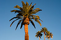/images/133/2008-12-21-mesa-pioneer-palms-65511.jpg - #06565: Palm Trees at Pioneer Park at Main St in Mesa … December 2008 -- Pioneer Park, Mesa, Arizona