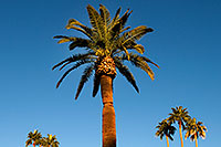 /images/133/2008-12-21-mesa-pioneer-palms-65517.jpg - #06515: Palm Trees at Pioneer Park at Main St in Mesa … December 2008 -- Pioneer Park, Mesa, Arizona