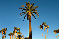 /images/133/2008-12-21-mesa-pioneer-palms-65523.jpg - #06567: Palm Trees at Pioneer Park at Main St in Mesa … December 2008 -- Pioneer Park, Mesa, Arizona