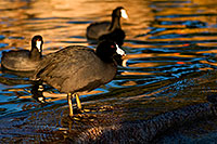 /images/133/2009-01-14-gilbert-freestone-75966.jpg - #06949: American Coots at Freestone Park … January 2009 -- Freestone Park, Gilbert, Arizona