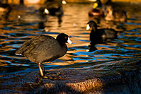 /images/133/2009-01-14-gilbert-freestone-75974.jpg - #06919: American Coots at Freestone Park … January 2009 -- Freestone Park, Gilbert, Arizona