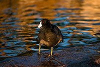 /images/133/2009-01-14-gilbert-freestone-75984.jpg - #06920: American Coots at Freestone Park … January 2009 -- Freestone Park, Gilbert, Arizona