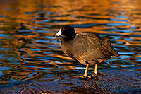 /images/133/2009-01-14-gilbert-freestone-75994.jpg - #06921: American Coots at Freestone Park … January 2009 -- Freestone Park, Gilbert, Arizona